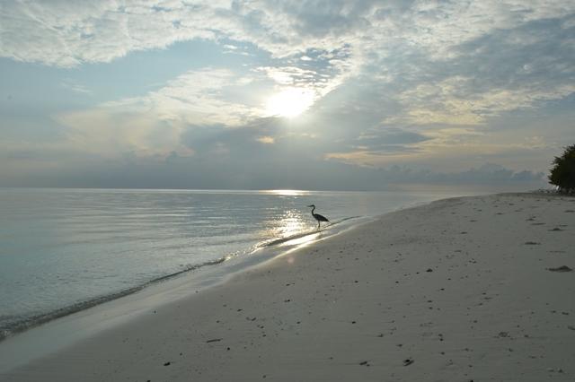 airone sulla spiaggia maldive