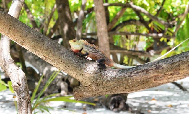 iguana maldive