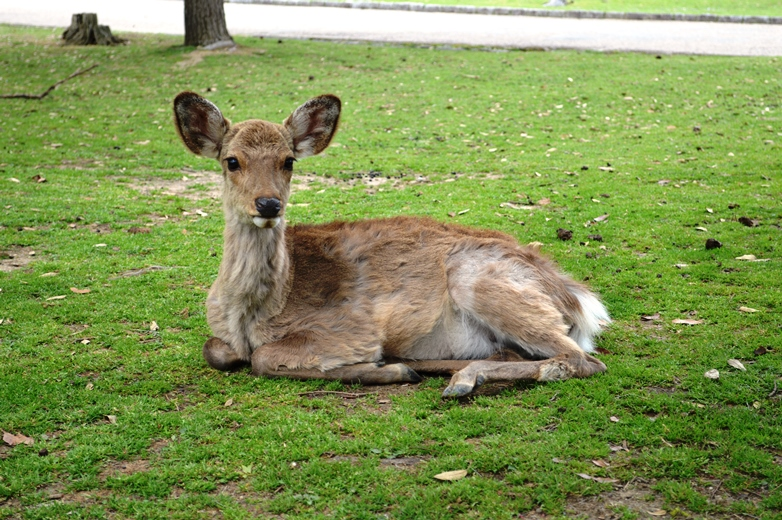 Giappone - Nara cosa vedere in una giornata - Journeydraft - CervoNara